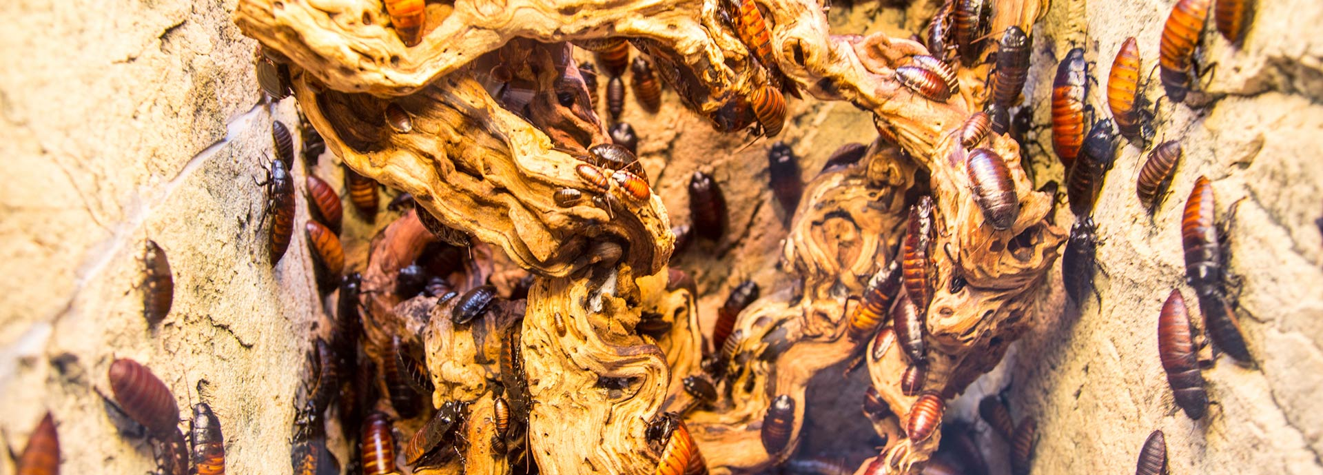 Schabe- & Kakerlakenbekämpfung
